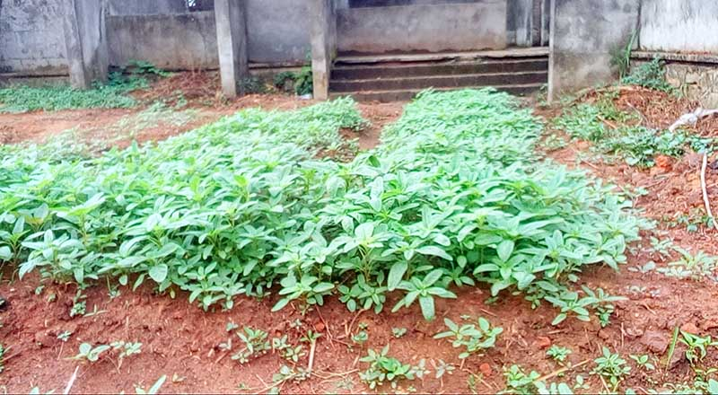 A raised garden with amaranth in January 2015 in Kindu, Maniema. (Photo by Mr. Tshiza/IMA World Health)